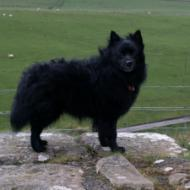 German Spitz Medium
