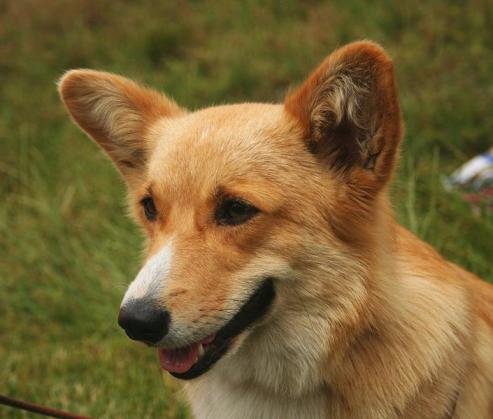 Some Information about the Pembroke Welsh Corgi