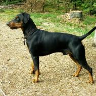 Swiss Shorthaired Pinscher